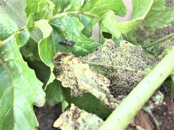 てんとう虫(幼虫)VS アブラムシ