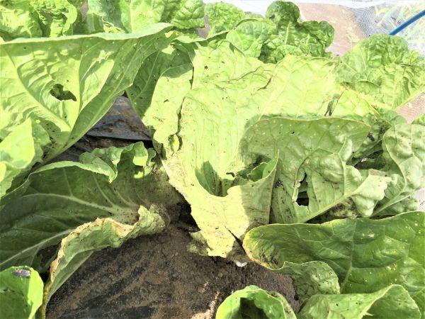 てんとう虫の幼虫が住む白菜